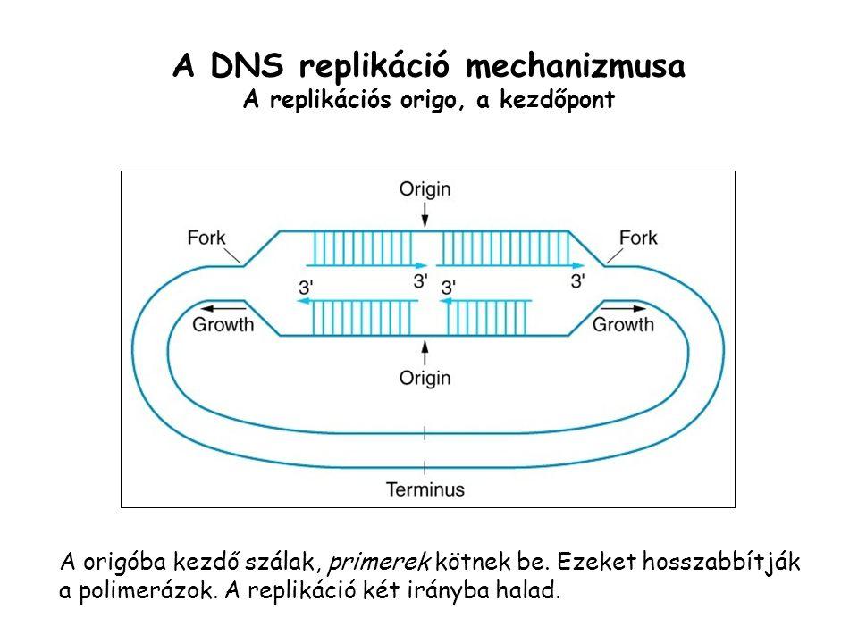 A DNS replikáció mechanizmusa A replikációs origo, a kezdőpont
