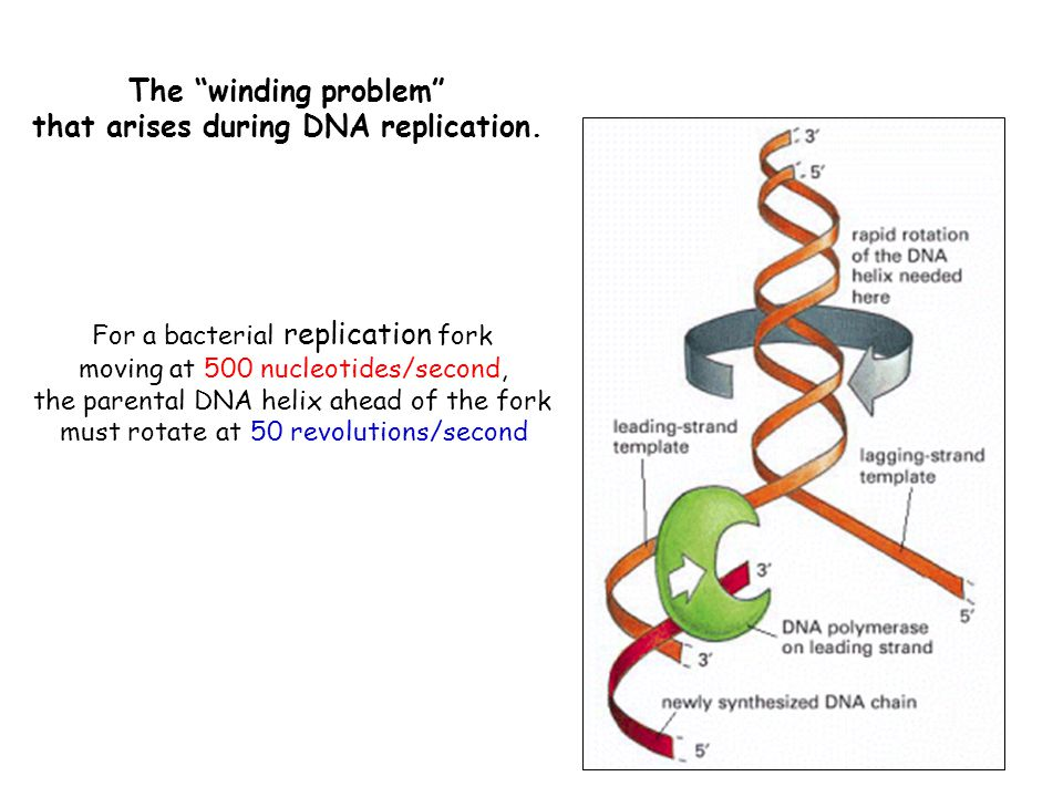 that arises during DNA replication.