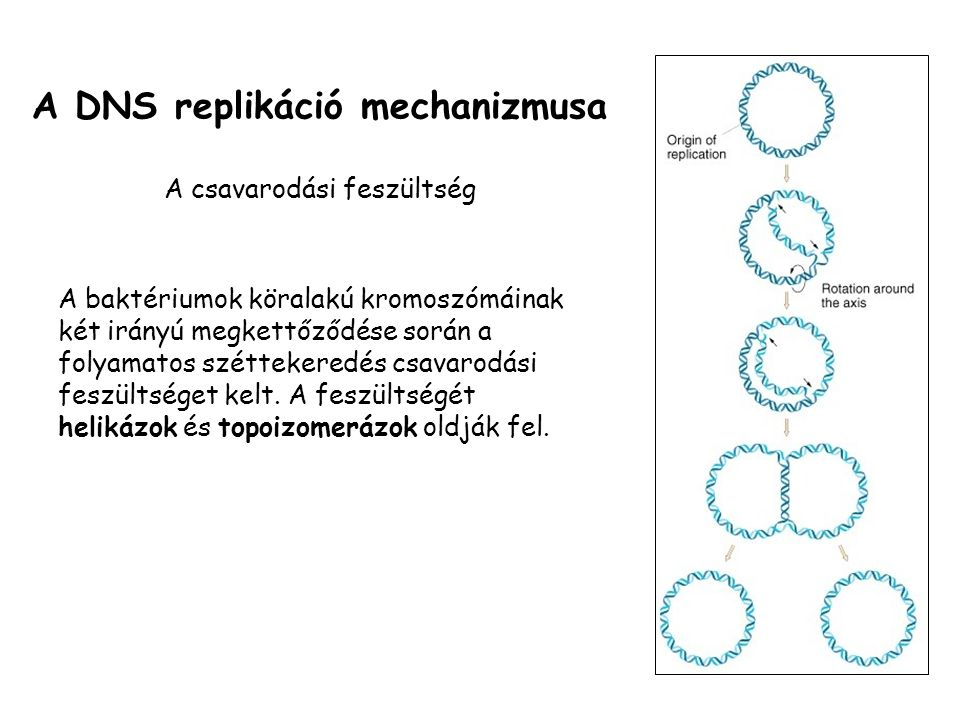 A DNS replikáció mechanizmusa A csavarodási feszültség