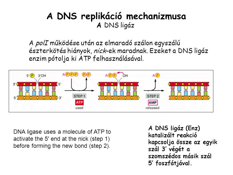 A DNS replikáció mechanizmusa A DNS ligáz