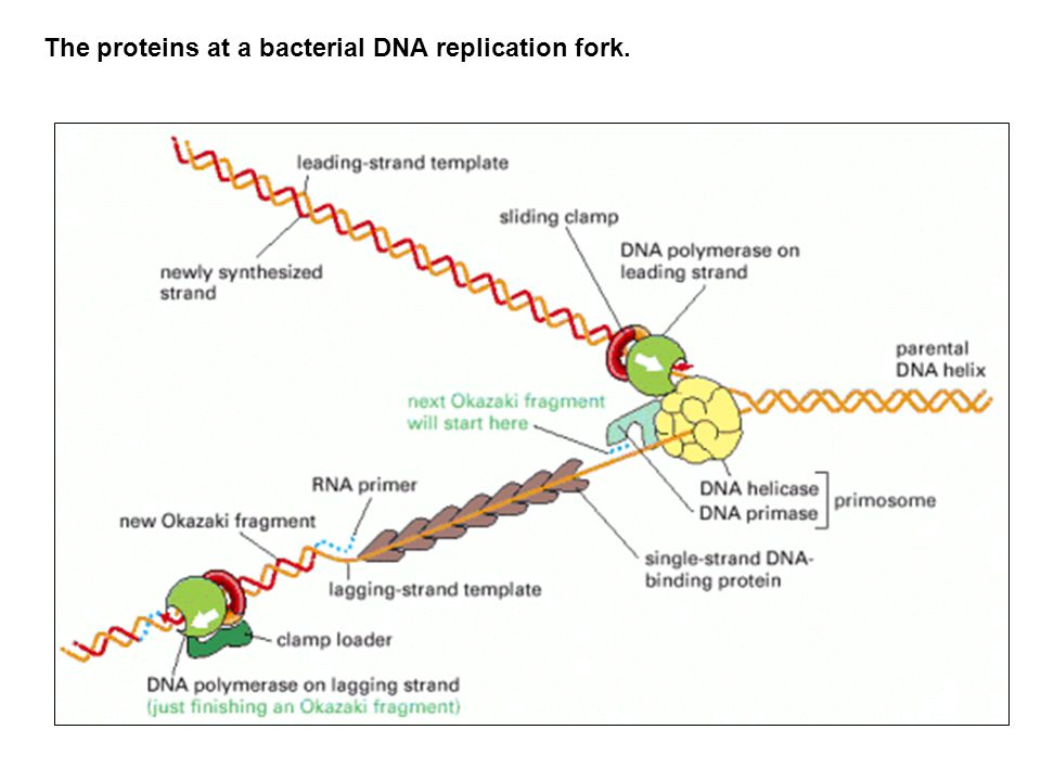 The proteins at a bacterial DNA replication fork.