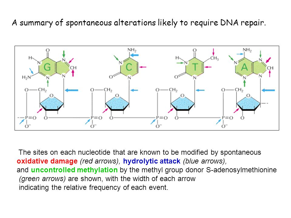 A summary of spontaneous alterations likely to require DNA repair.