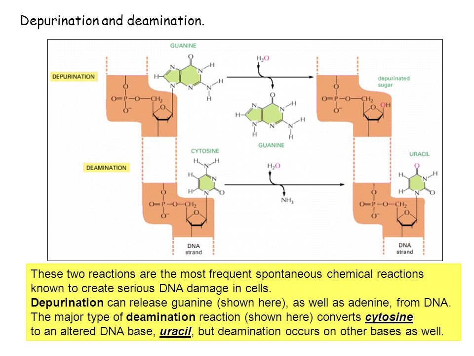 Depurination and deamination.