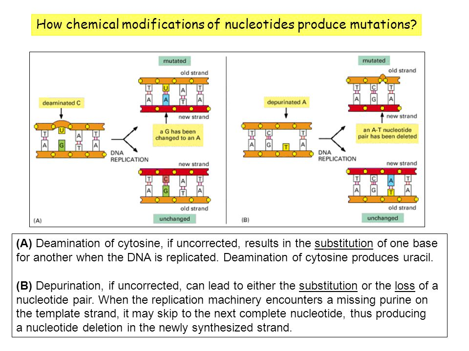 How chemical modifications of nucleotides produce mutations
