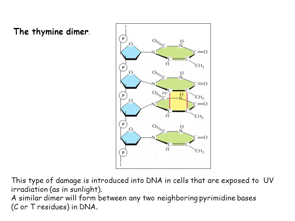 The thymine dimer. This type of damage is introduced into DNA in cells that are exposed to UV irradiation (as in sunlight).