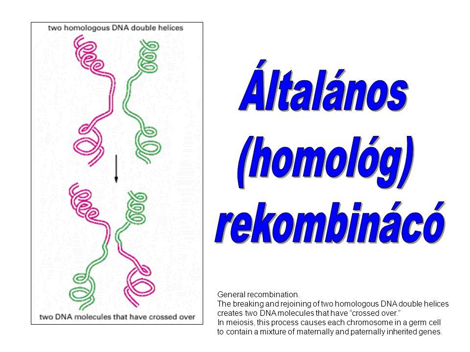 Általános (homológ) rekombinácó General recombination.