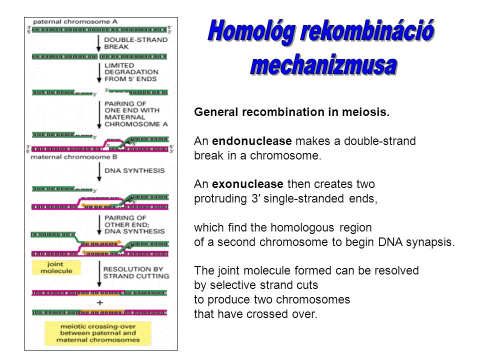 Homológ rekombináció mechanizmusa General recombination in meiosis.