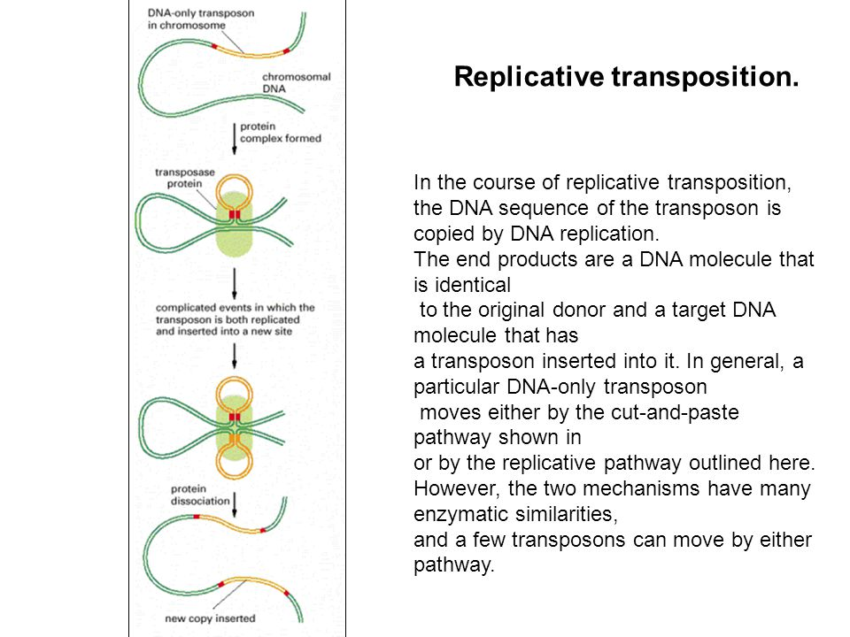 Replicative transposition.