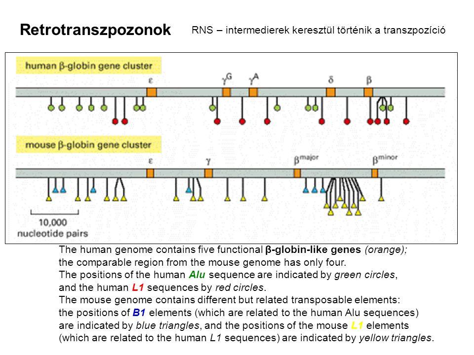 Retrotranszpozonok RNS – intermedierek keresztül történik a transzpozíció.