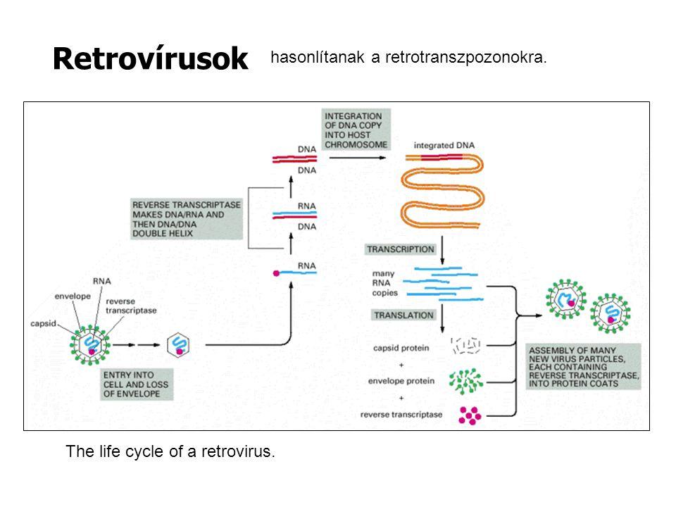 Retrovírusok hasonlítanak a retrotranszpozonokra.