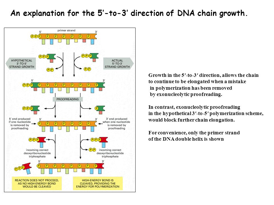 An explanation for the 5′-to-3′ direction of DNA chain growth.