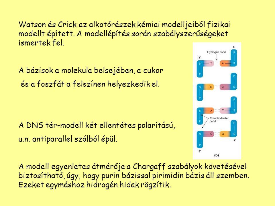 Watson és Crick az alkotórészek kémiai modelljeiből fizikai modellt épített. A modellépítés során szabályszerűségeket ismertek fel.