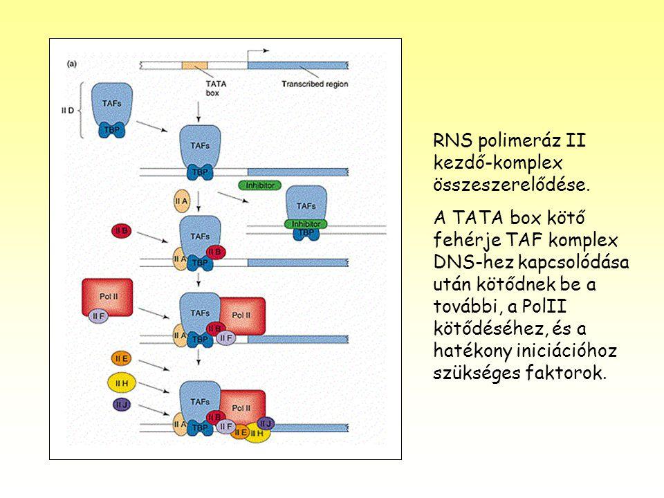 RNS polimeráz II kezdő-komplex összeszerelődése.
