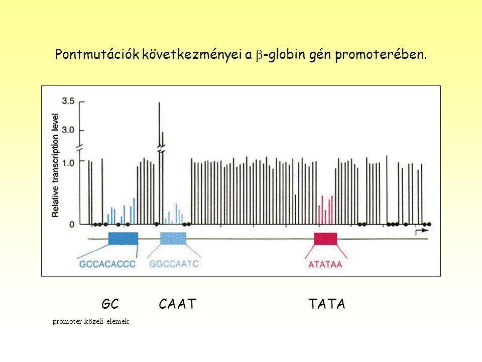 Pontmutációk következményei a b-globin gén promoterében.