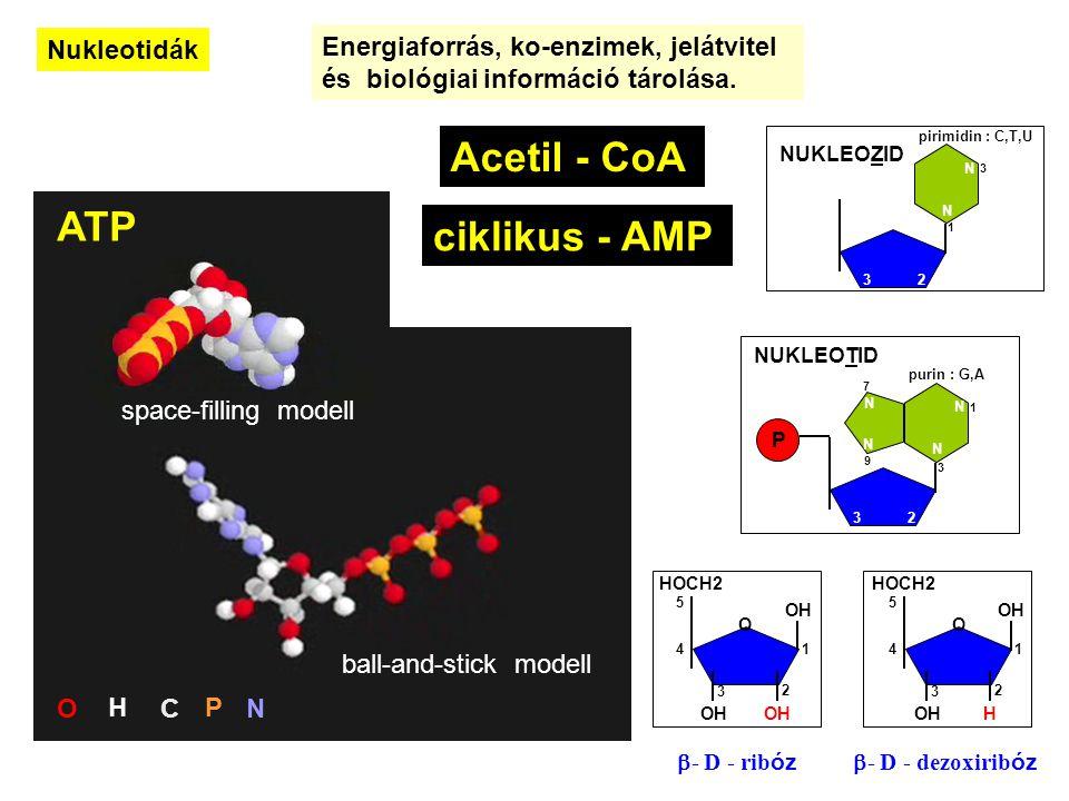 Acetil - CoA ATP ciklikus - AMP Nukleotidák