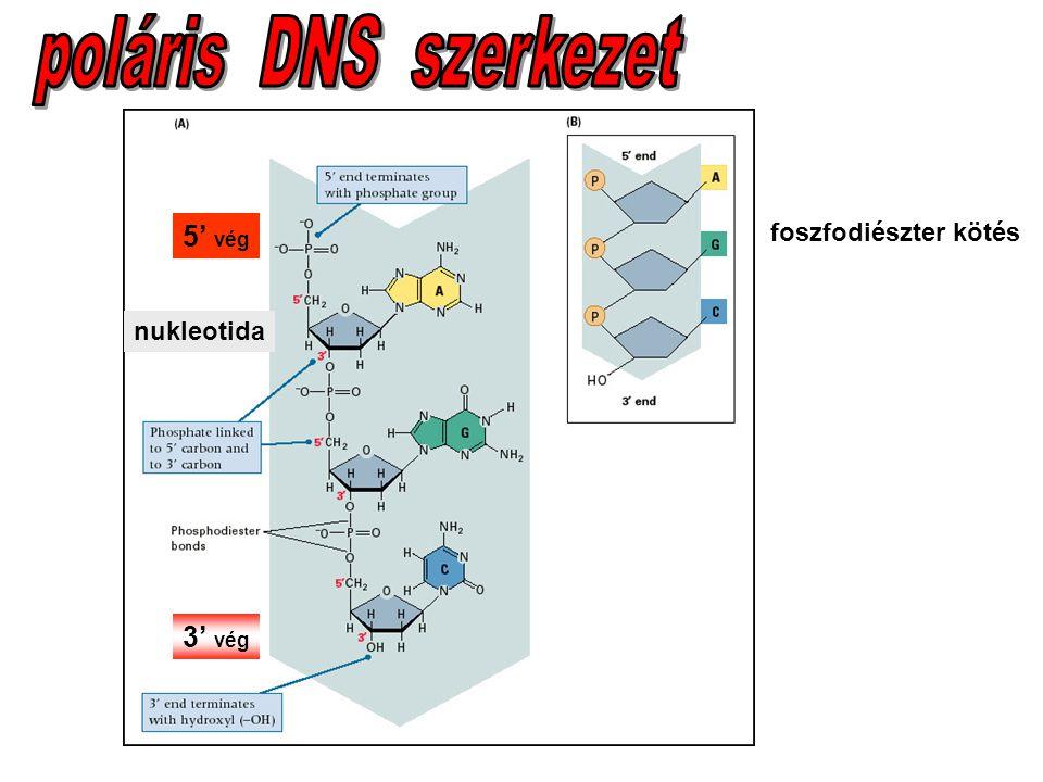 poláris DNS szerkezet 5' vég foszfodiészter kötés nukleotida 3' vég