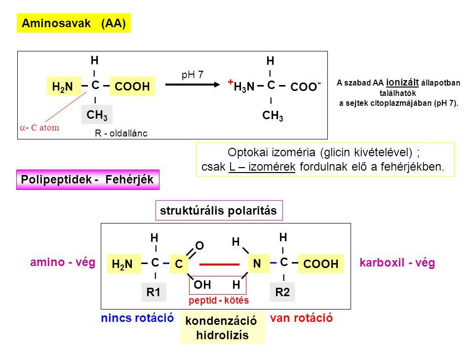 A szabad AA ionizált állapotban a sejtek citoplazmájában (pH 7).