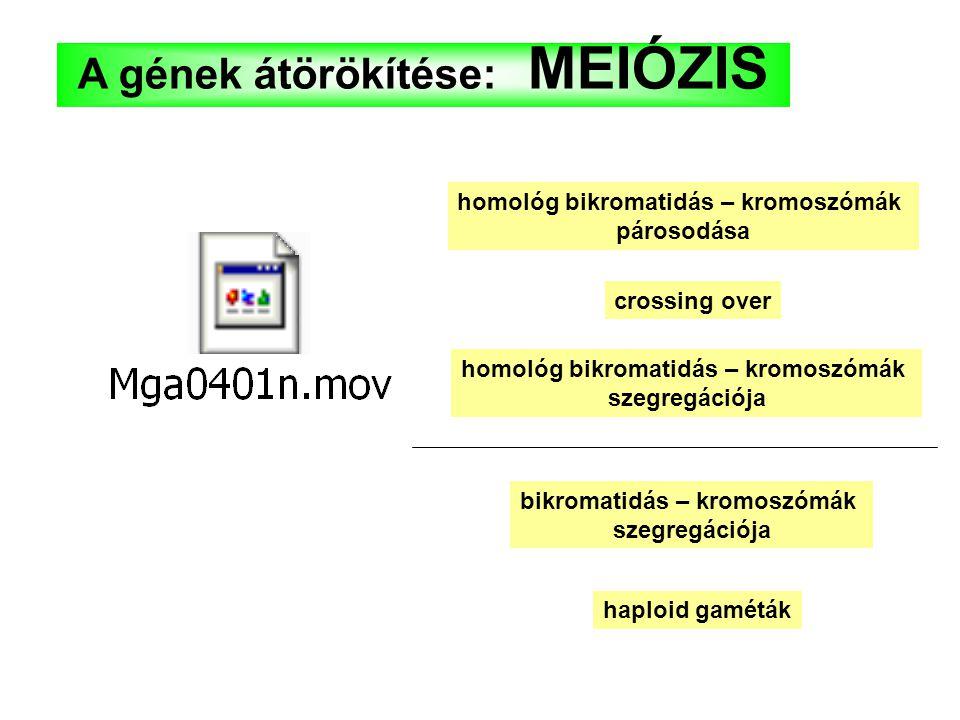 A gének átörökítése: MEIÓZIS