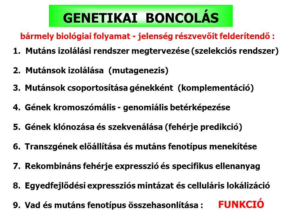 GENETIKAI BONCOLÁS FUNKCIÓ