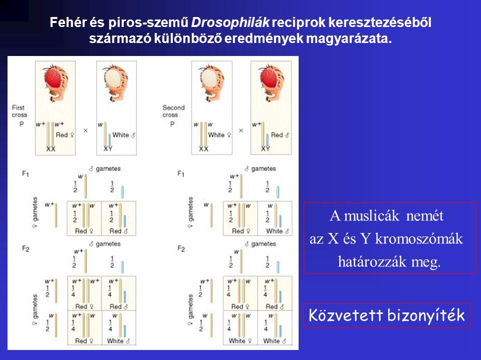 A muslicák nemét az X és Y kromoszómák határozzák meg.