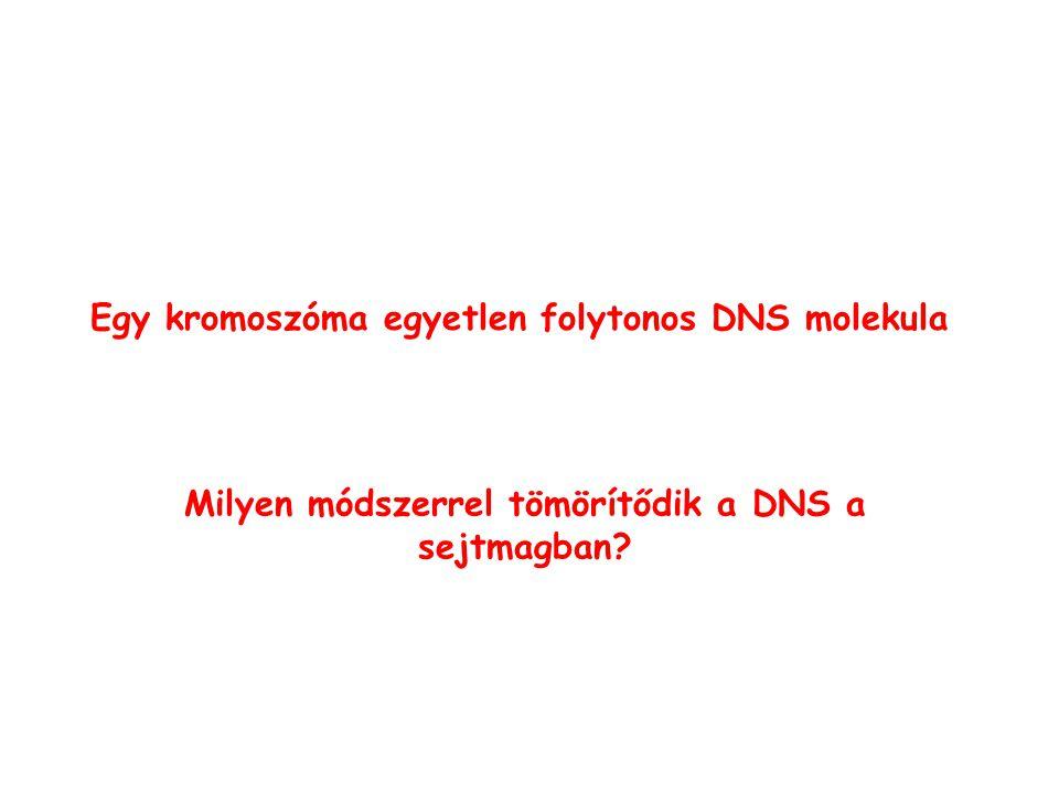 Milyen módszerrel tömörítődik a DNS a sejtmagban