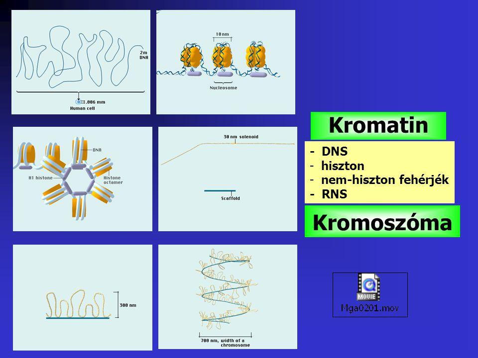 Kromatin - DNS hiszton nem-hiszton fehérjék - RNS Kromoszóma