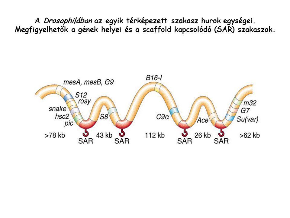 A Drosophilában az egyik térképezett szakasz hurok egységei
