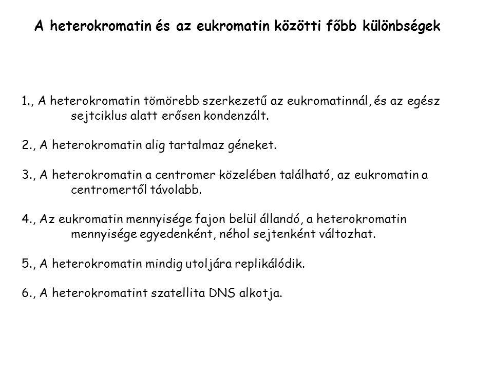 A heterokromatin és az eukromatin közötti főbb különbségek