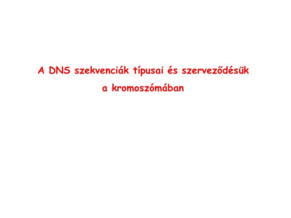 A DNS szekvenciák típusai és szerveződésük