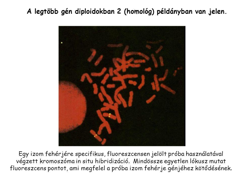 A legtöbb gén diploidokban 2 (homológ) példányban van jelen.
