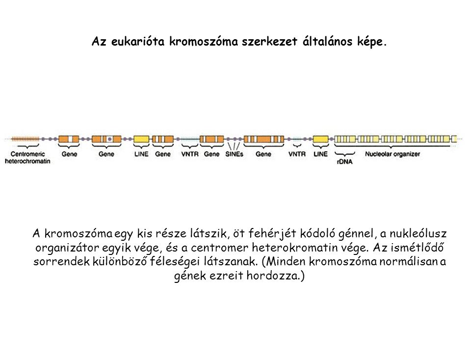 Az eukarióta kromoszóma szerkezet általános képe.