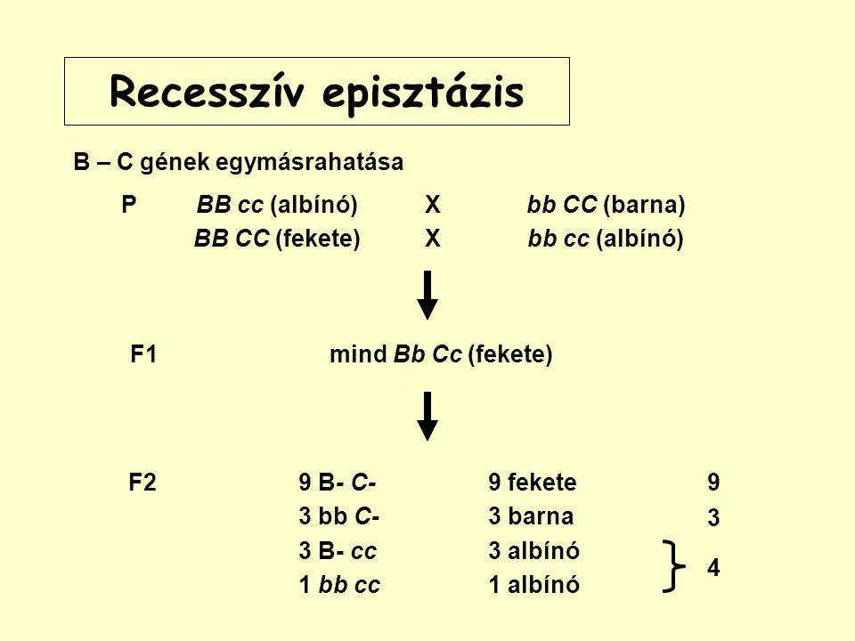 Recesszív episztázis B – C gének egymásrahatása P BB cc (albínó)