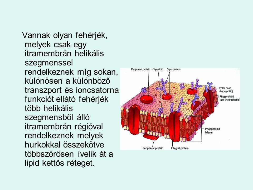 Vannak olyan fehérjék, melyek csak egy itramembrán helikális szegmenssel rendelkeznek míg sokan, különösen a különböző transzport és ioncsatorna funkciót ellátó fehérjék több helikális szegmensből álló itramembrán régióval rendelkeznek melyek hurkokkal összekötve többszörösen ívelik át a lipid kettős réteget.