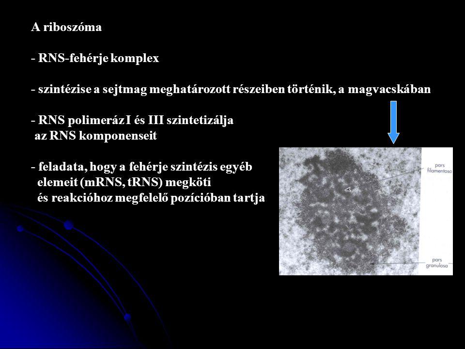 A riboszóma - RNS-fehérje komplex. - szintézise a sejtmag meghatározott részeiben történik, a magvacskában.
