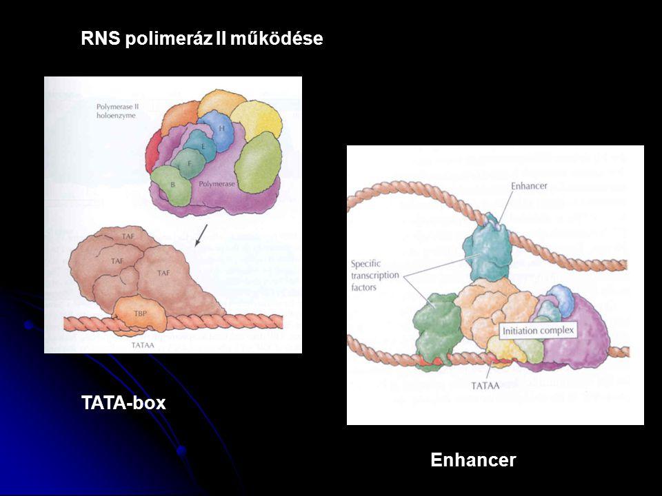 RNS polimeráz II működése