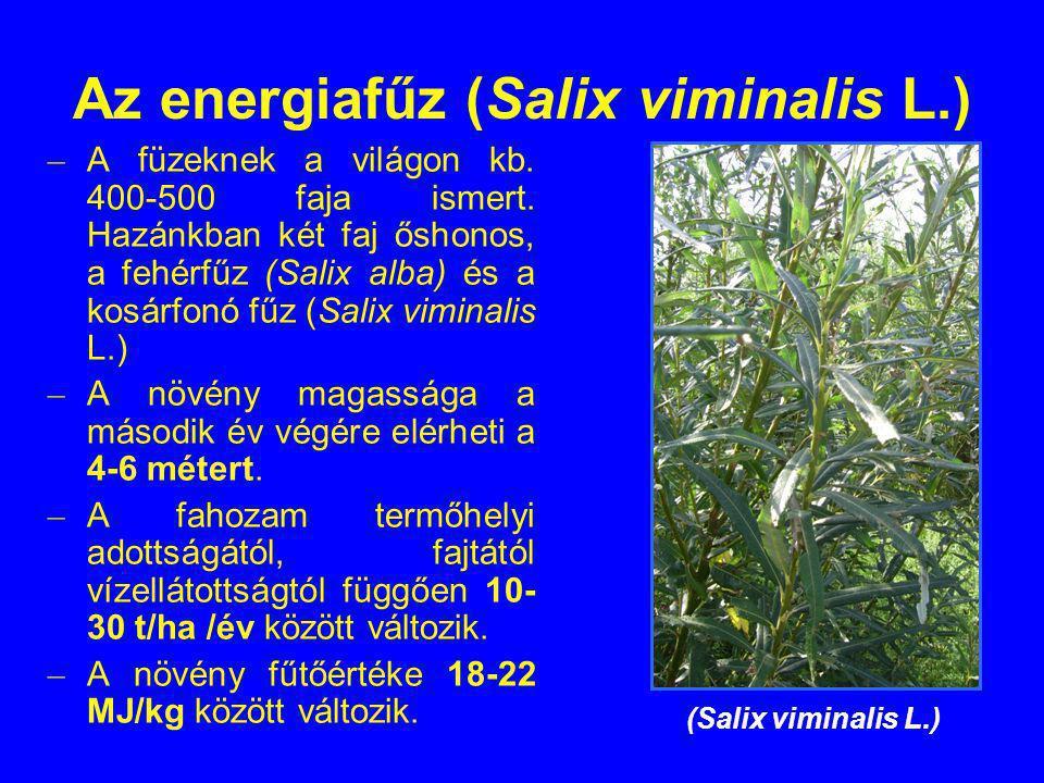 Az energiafűz (Salix viminalis L.)
