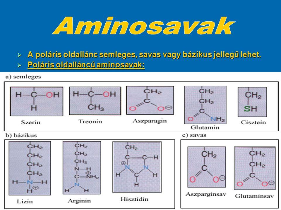 Aminosavak A poláris oldallánc semleges, savas vagy bázikus jellegű lehet.
