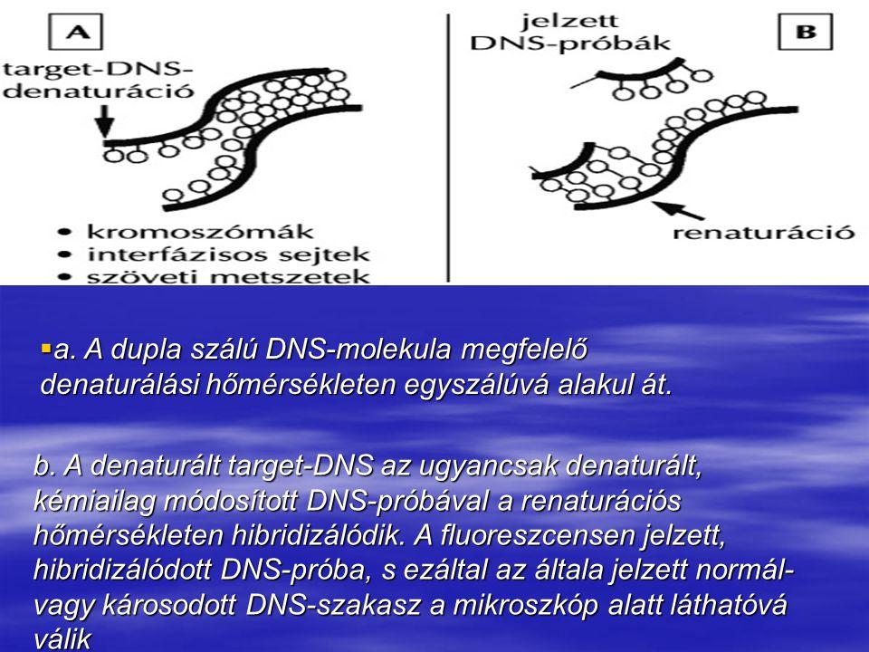 a. A dupla szálú DNS-molekula megfelelő denaturálási hőmérsékleten egyszálúvá alakul át.