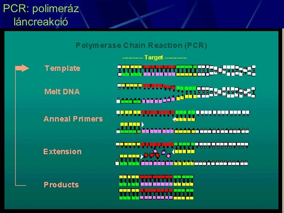 PCR: polimeráz láncreakció