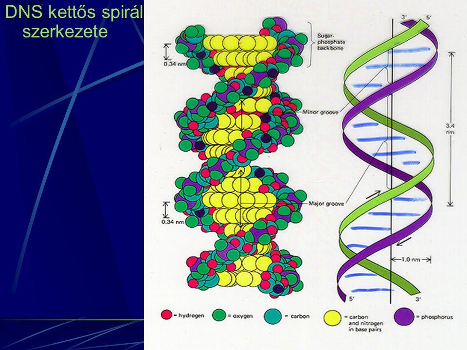 DNS kettős spirál szerkezete