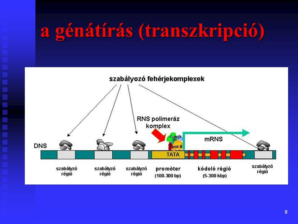 a génátírás (transzkripció)