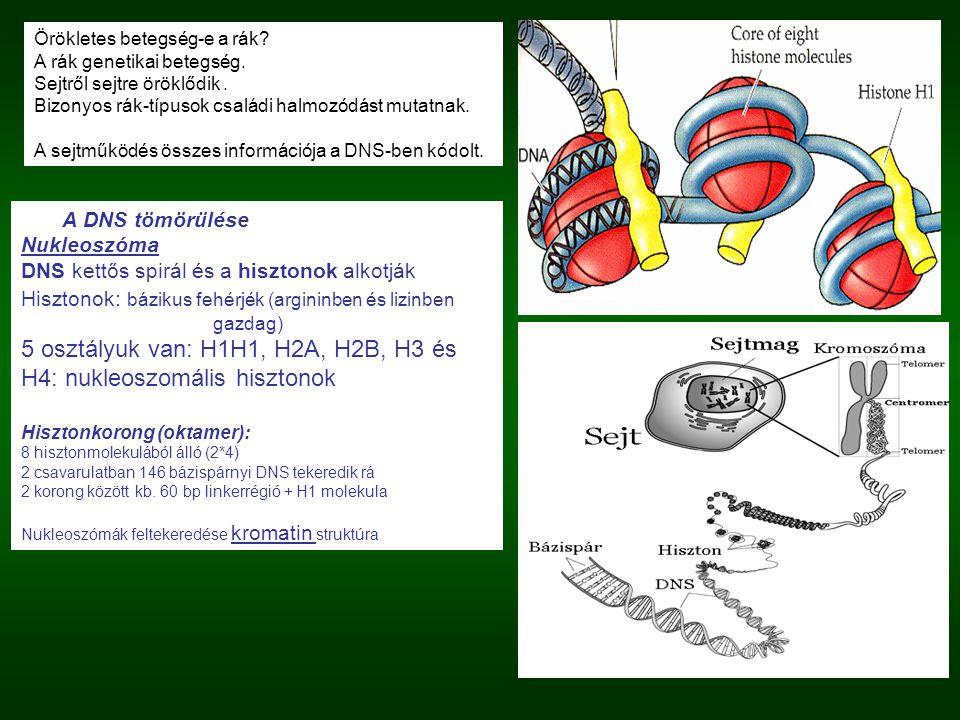 5 osztályuk van: H1H1, H2A, H2B, H3 és H4: nukleoszomális hisztonok