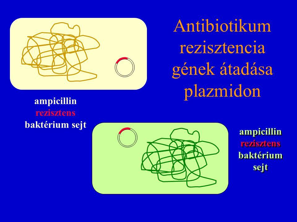Antibiotikum rezisztencia gének átadása plazmidon