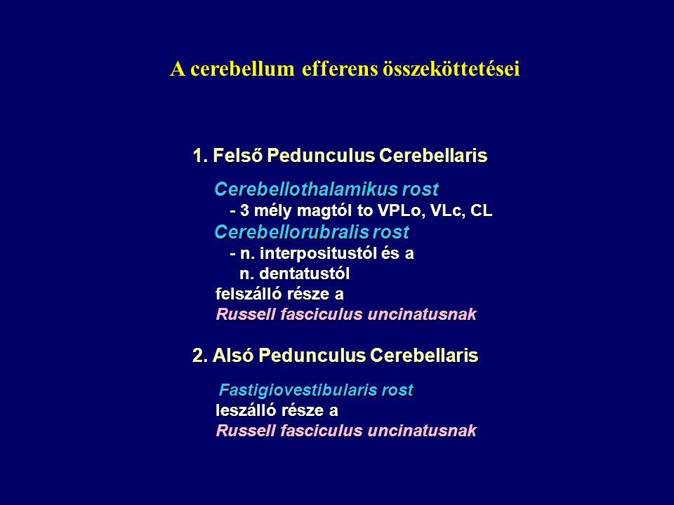 A cerebellum efferens összeköttetései
