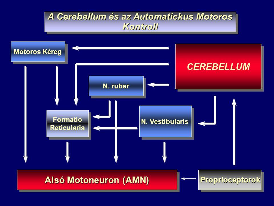 A Cerebellum és az Automatickus Motoros Kontroll