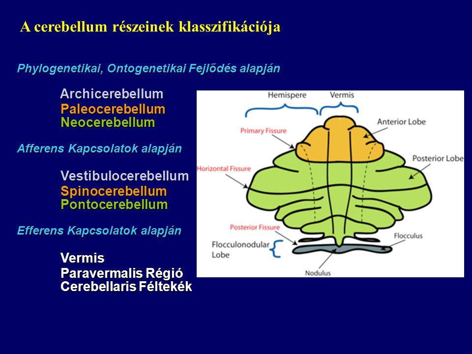 A cerebellum részeinek klasszifikációja
