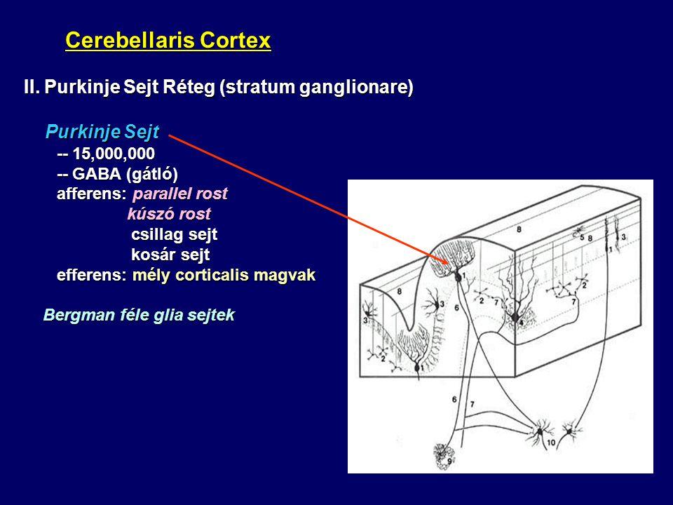II. Purkinje Sejt Réteg (stratum ganglionare) Purkinje Sejt