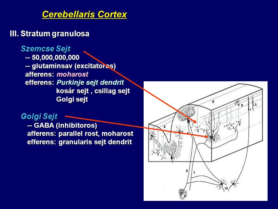 Cerebellaris Cortex III. Stratum granulosa Szemcse Sejt Golgi Sejt