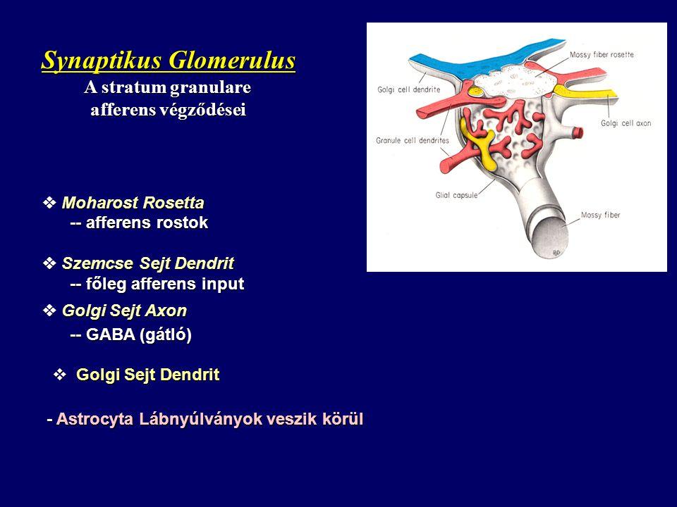 Synaptikus Glomerulus