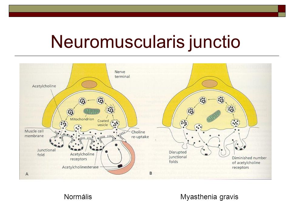 Neuromuscularis junctio